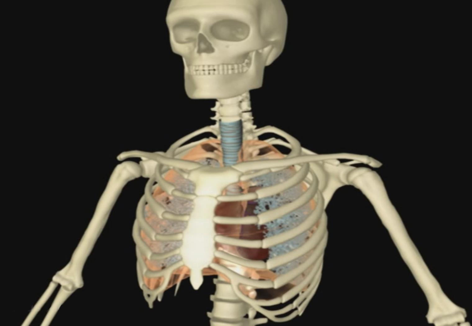 Ausgezeichnet Interaktives Menschliches Skelett Bilder - Menschliche ...